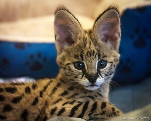 Wanted Serval Cat or Kitten or Savannah F1 or F2