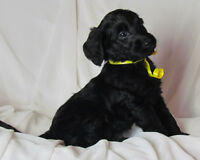 Christmas Multi-Gen Labradoodle Puppies -  Reservation List Open