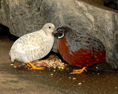 15 Button quail Hatching eggs DARTH VADER  RARE COLORS KEPT IN `Separate Groups