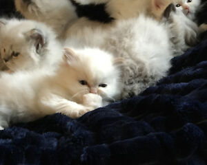 Adorable Himalayan Kittens ready for their fuurr ever homes
