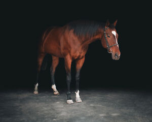 Equine and Canine Photography