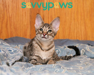 F2 Savannah Kitten Available