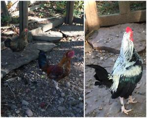 FREE chickens / retired show birds