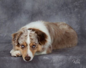 miniature american shepherd red merle  male