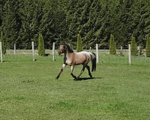 Hunter Pony Mare for LEASE