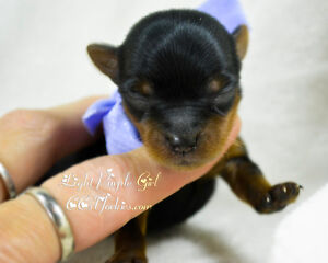 Purebred Yorkshire Terriers puppies for sale