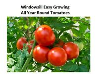 3x Windowsill Easy Growing Tomato Plants (Cherry Tomato, Plum Tomato, Salad Tomato plant)