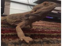2 year old bearded dragon and like-new black vivarium