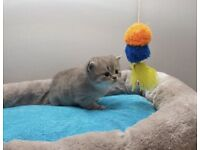 Adorable Persian Chinchilla Kittens