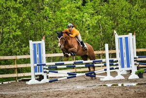 Experienced Jumper Mare