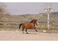 Baldorran Sunshine 12hh Welsh section B mare 6yr old M&M or SHP LR/FR