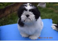 1 SHIH TZU Puppy for Sale