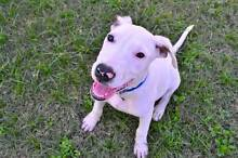 Adopt Alice 4mth Bull terrior x North Ward Townsville City Preview