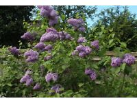 5 X LILACS young suckers fully rooted flowering shrub plant pick up Woking