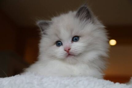 Wanted: FEMALE RAGDOLL KITTEN WANTED!!!!