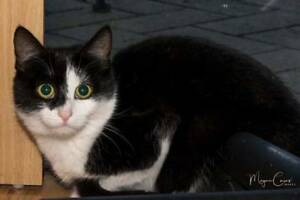 BEANZY (IF015-17) - rescue cat - *Vet Work Included* Brentwood Melville Area Preview