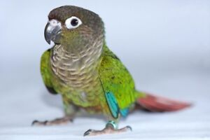 I Would Love A Conure