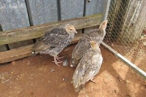 Turkey chicks ranging from 1 week to 4 months old $10 to $30. Elands Greater Taree Area Preview