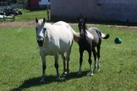 Beautiful pony mare and foals