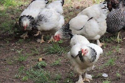 12 Light Brown Easter Egger Chicken Hatching Eggs Eggers Free Rangenon-gmo