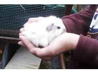 Lovely baby boy guinea pigs, ready 31st May £15each
