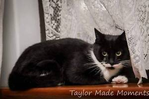 AC0177 : Shadow - CAT for ADOPTION - Vet Work Included Helena Valley Mundaring Area Preview
