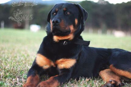 Rottweiler entire male pup 10 months old Gloucester Gloucester Area Preview