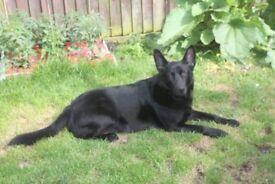 Labrador x German Shepard adult male dog for sale