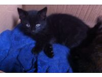 kitten for sale- 8 week old kittens, last one, reduced