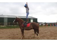 14.2 super star gelding, 10 yrs old great pc / Sj/ all rounder