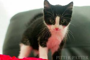 Manuel rescue KITTEN to adopt VET WORK INC Craigie Joondalup Area Preview