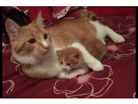 maine coon kittens ginger and black for sale 2weeks old