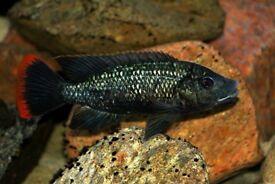 Oreochromis shiranus cichlids fish