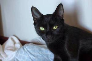 AC0543 : Olive - CAT FOR ADOPTION - Vet Work Included Mount Helena Mundaring Area Preview