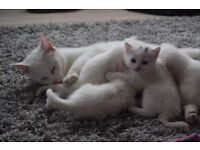 One remaining white kitten from a litter of 4
