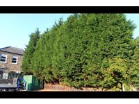 Evergreen trees wanted.