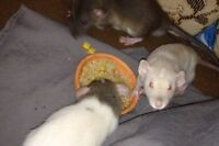 Baby Rats