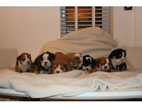 english bulldog coloured puppies