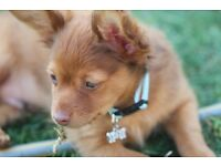 RUSSIAN TOY Long haired Male Puppy , very rare pedigree toy breed in UK small like chihuahua