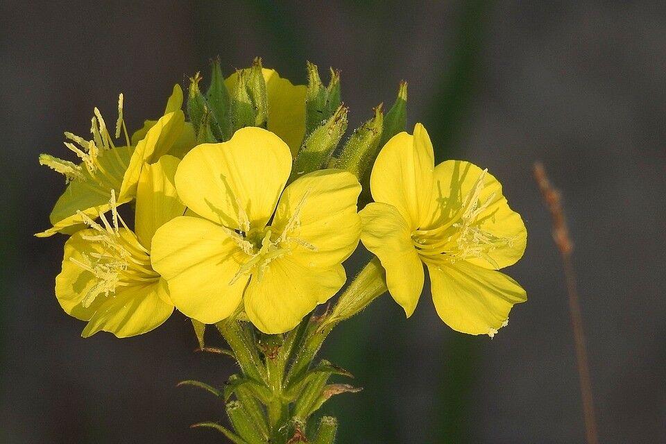 2.000+ Samen Oenothera biennis - Gemeine Nachtkerze