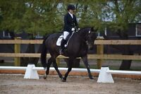 Dressage or hunter/jumper horse for sale