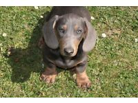 BLUE Miniature Smooth Haired Dachshund, 5 mths old male, PRA CLEAR
