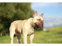 French bulldog - male - kc reg - last one!