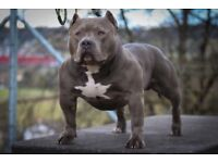 The Best of the Best American Bully
