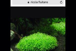 Riccia Fluitans Annandale Leichhardt Area Preview