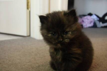 Unique 8 week old Persian X Tortoise Shell kitten for sale Mont Albert North Whitehorse Area Preview