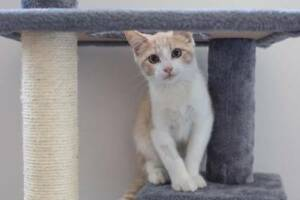 AK3226 : Constantine - KITTEN for ADOPTION - Vet Work Included