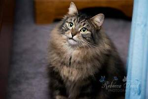 AC0350 : Pip - CAT for ADOPTION - Vet Work Included Helena Valley Mundaring Area Preview