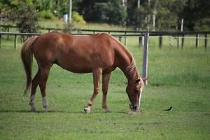 Quarter Horse cross Stock Mare (Comes with tack) Landsborough Caloundra Area Preview