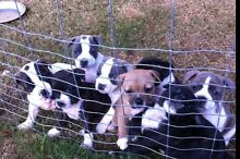 Staffy pups Burpengary Caboolture Area Preview